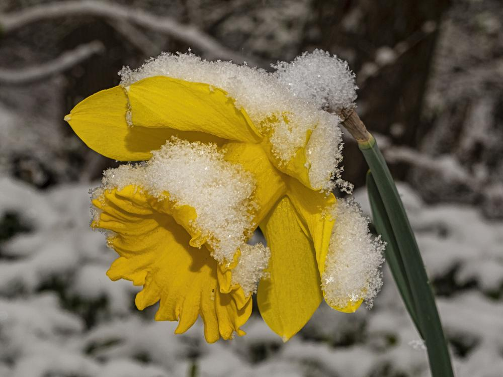 Photo of Daffodils (Narcissus) uploaded by arctangent