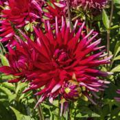 Location: Dahlia Hill, Midland, MichiganDate: 2019-09-05This handsome dahlia is labeled 'David' in the Dahlia H