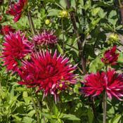 Location: Dahlia Hill, Midland, MichiganDate: 2019-09-05Dahlia 'David', on the Dahlia Hill tuber list as (M, C,