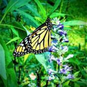 Location: Thomasville, GA USADate: 2019-08-15A lucky #Monarch enjoying the sweet nectar of the Vitex bloom