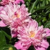 Location: Peony Garden at Nichols Arboretum, Ann Arbor, MichiganDate: 2014-06-05Some aging blooms which have lost the buff color of the