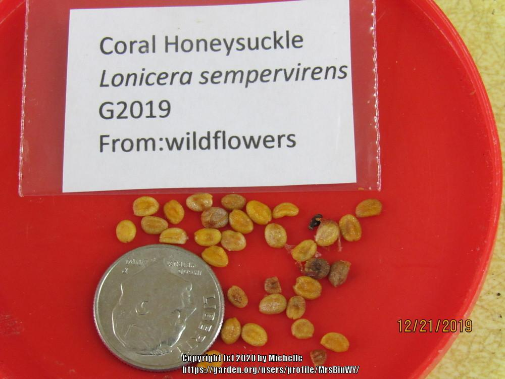 Photo of Coral Honeysuckle (Lonicera sempervirens) uploaded by MrsBinWY