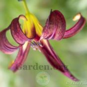 Location: My garden-Zone 9aDate: 2020-04-29Daylily -Black Arrowhead