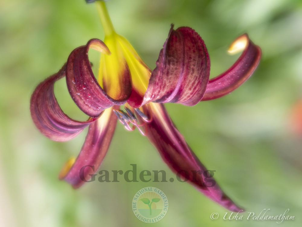 Photo of Daylily (Hemerocallis 'Black Arrowhead') uploaded by Jacaranda
