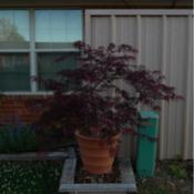 Location: in my gardenDate: 05-03-2020Acer palmatum 'Viridis'