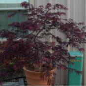 Location: in my shade gardenDate: 05-03-2020Acer palmatum 'Viridis'