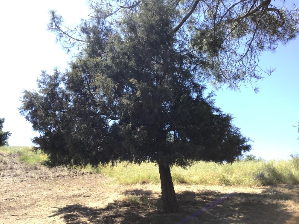 Photo of Juniper (Juniperus) uploaded by KFredenburg