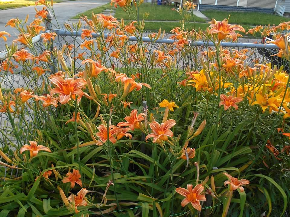 Photo of Ditch Lily (Hemerocallis fulva) uploaded by Megapickles216
