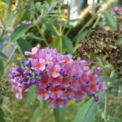Location: Cleveland, OhioRainbow Kaleidoscope Bicolor butterfly bush
