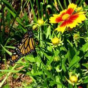 Location: Thomasville, GA USADate: 2020-04-28A newly released #Monarch (number 6 on 4/28/2020) dryin