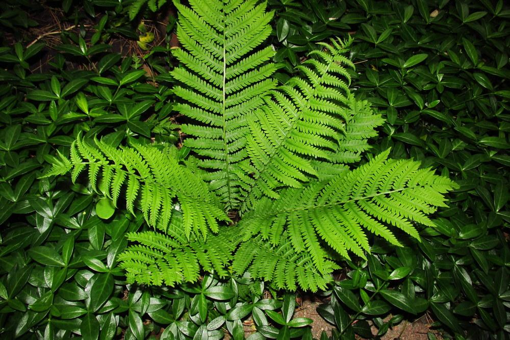 Photo of Ostrich Fern (Matteuccia struthiopteris) uploaded by jmorth