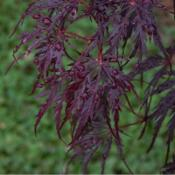 Location: in my shade gardenDate: 05-11-2020Acer palmatum 'Viridis'
