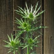 Location: Northern California, Zone 9bDate: 2020-05-12Big Blue Sea Holly getting ready to turn blue and bloom