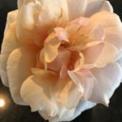 Location: Hammond, LouisianaDate: 2020-05-12Soul Sister shrub rose by Kordes