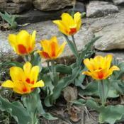 Location: southeast NebraskaDate: 2014-04-19Perennial tulip
