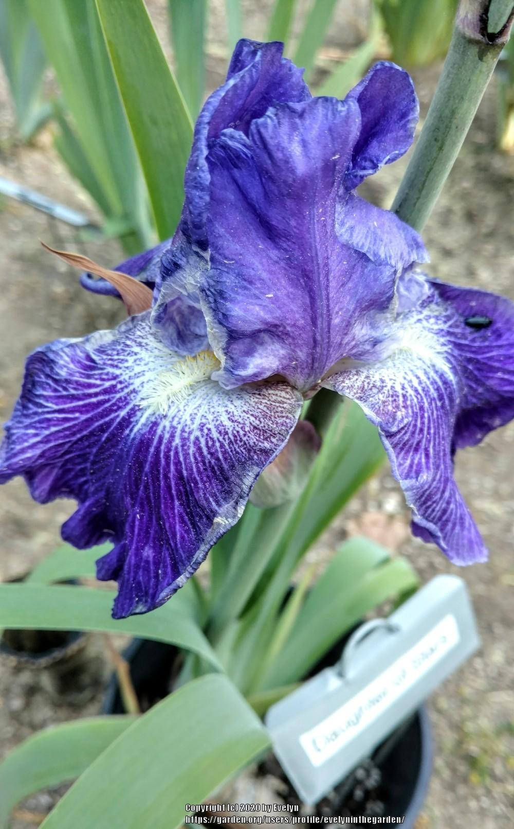 Photo of Tall Bearded Iris (Iris 'Daughter of Stars') uploaded by evelyninthegarden