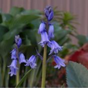 Location: in my shade garden gardenDate: 04-18-2020Spanish Bluebell (Hyacinthoides hispanica)