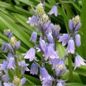 Location: in my shade garden gardenDate: 2001-2007Spanish Bluebell (Hyacinthoides hispanica)