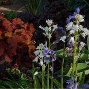 Location: in my shade garden gardenDate: 04-26-2020Spanish Bluebell (Hyacinthoides hispanica)