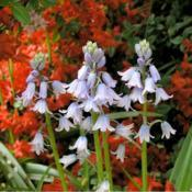 Location: at the Missouri Botanical GardenDate: 2001-2007Spanish Bluebell (Hyacinthoides hispanica)