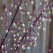 Location: Northern California, Zone 9bDate: 2020-05-15Dainty little white flowers dangle from amethyst stems.