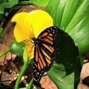 Location: Thomasville, GA USADate: 2020-05-15A newly released #Monarch (number 46 as of 5/15/2020) d