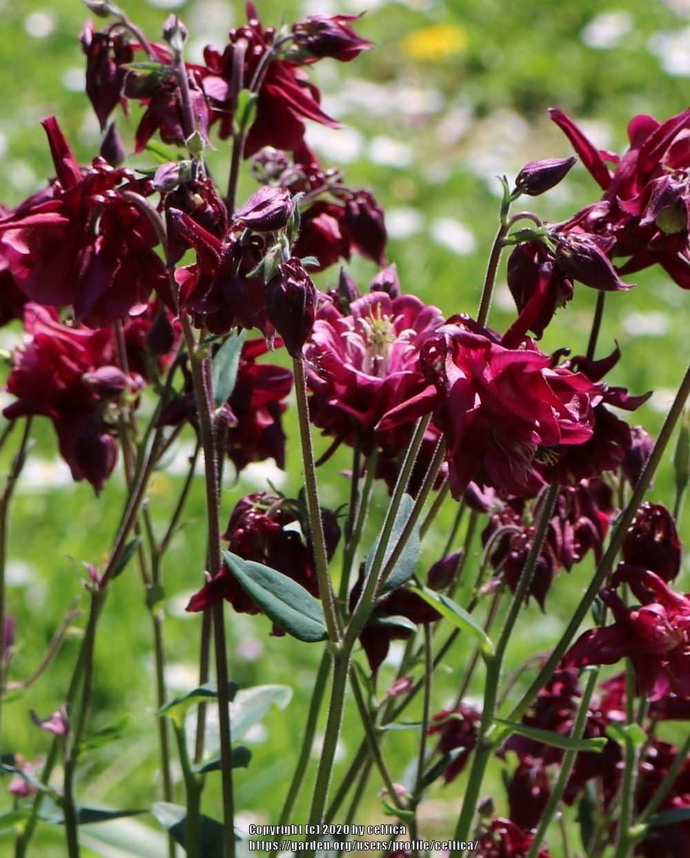 Photo of Columbines (Aquilegia) uploaded by celtica