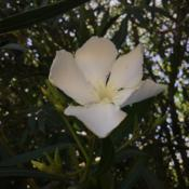 Location: CADate: 5/23/2020First bloom of the year! The #fragrance is wonderful!