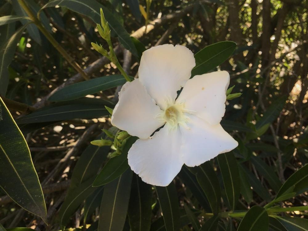 Photo of Oleander (Nerium oleander 'Hardy White') uploaded by KFredenburg