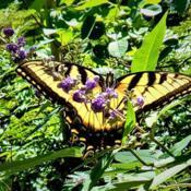 Location: Thomasville, GA USADate: 2020-05-19I met this female Eastern #Tiger #Swallowtail #butterfly feasting