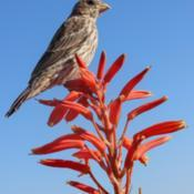 Location: Baja CaliforniaDate: 2020-05-26Aloe humilis x with juvenile house finch (Haemorhous me