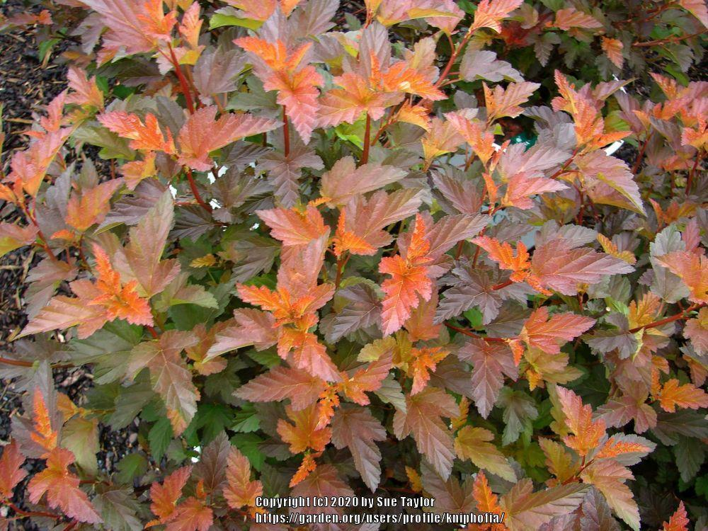 Photo of Eastern Ninebark (Physocarpus opulifolius Coppertina™) uploaded by kniphofia