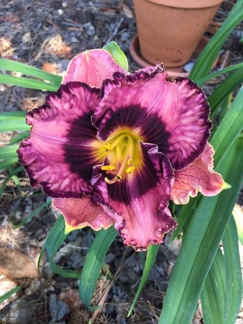 Photo of Daylily (Hemerocallis 'Written on the Wind') uploaded by DixieSwede