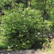Location: Jenkins Arboretum in Berwyn, PennsylvaniaDate: 2020-05-26full-grown shrub in bloom