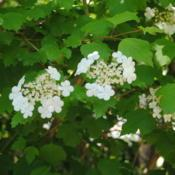 Location: Jenkins Arboretum in Berwyn, PennsylvaniaDate: 2020-05-26flower clusters and spring foliage