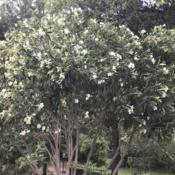 Location: CADate: 5/29/2020One of my oleander bushes that I made into a tree has a