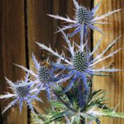 Location: Northern California, Zone 9bDate: 2020-05-30Big Blue Sea Holly turning blue.