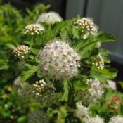 Location: Wayne, PennsylvaniaDate: 2020-05-26close-up of flowers of young shrub in landscape
