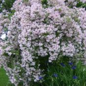 Location: charlottetown, pei, canadaDate: 2010-07-01Beauty Bush,hardy, easy to grow.