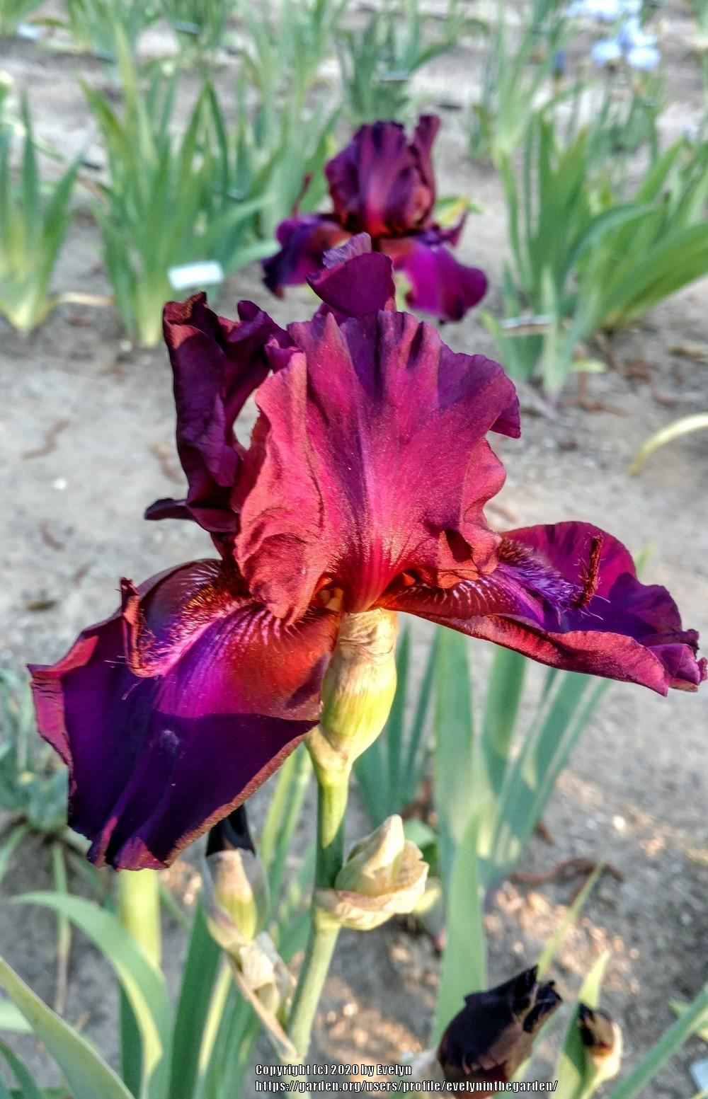 Photo of Tall Bearded Iris (Iris 'Purple People Eater') uploaded by evelyninthegarden