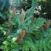 Location: West Chester, PennsylvaniaDate: 2020-06-09brown fertile fronds among foliage