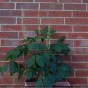 Location: on my patioDate: 06-13-2020Bottlebrush Buckeye (Aesculus parviflora)