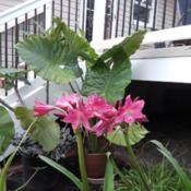 Location: Millersville MDDate: 2018-07-27With Alocasia and other tropicals, makes a bold stateme