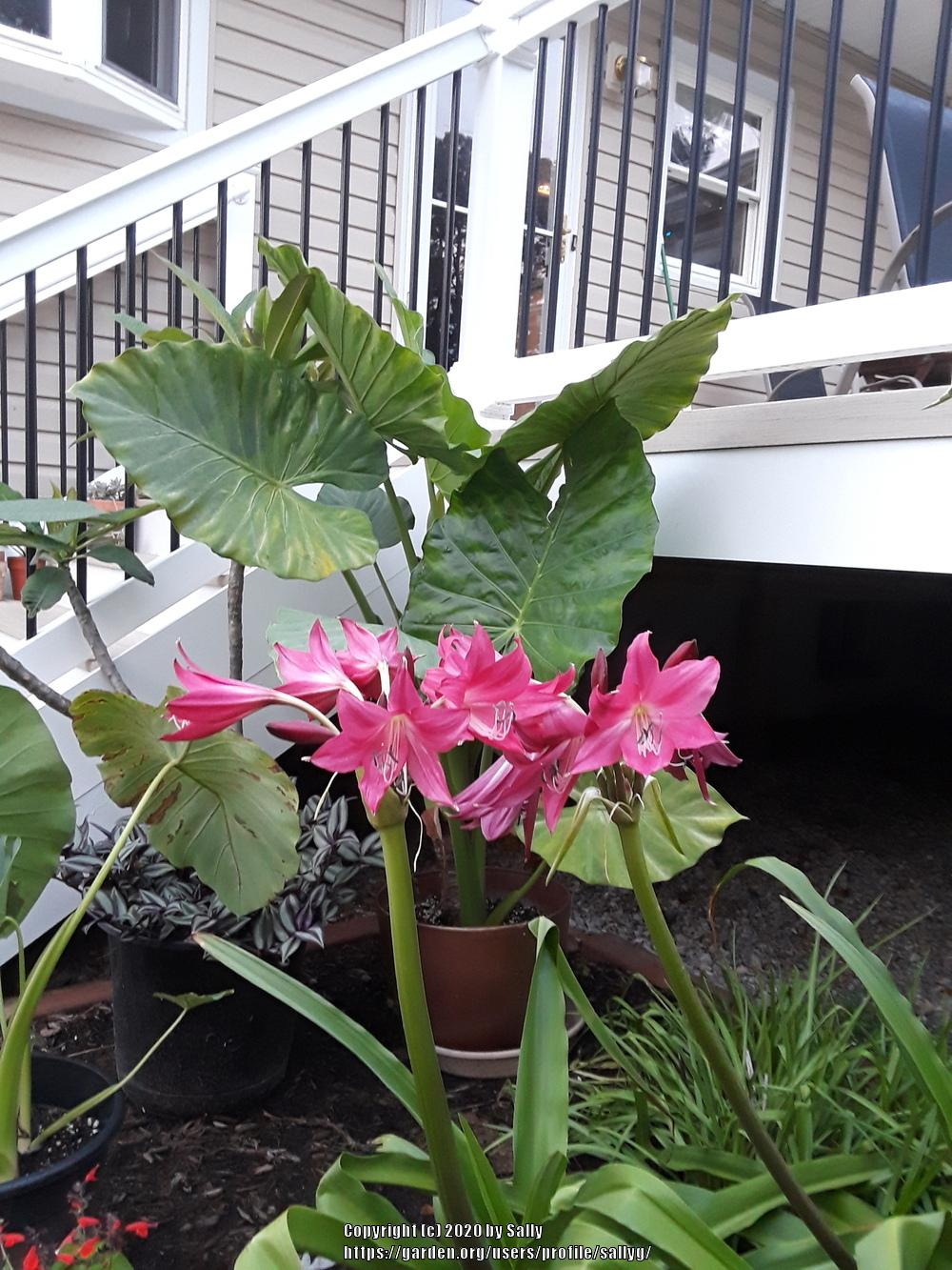 Photo of Crinum 'Ellen Bosanquet' uploaded by sallyg