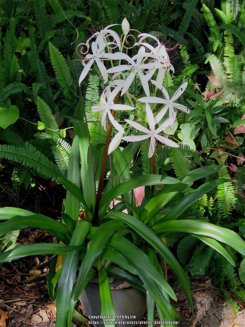 Photo of Crinum Lily (Crinum americanum) uploaded by plantladylin