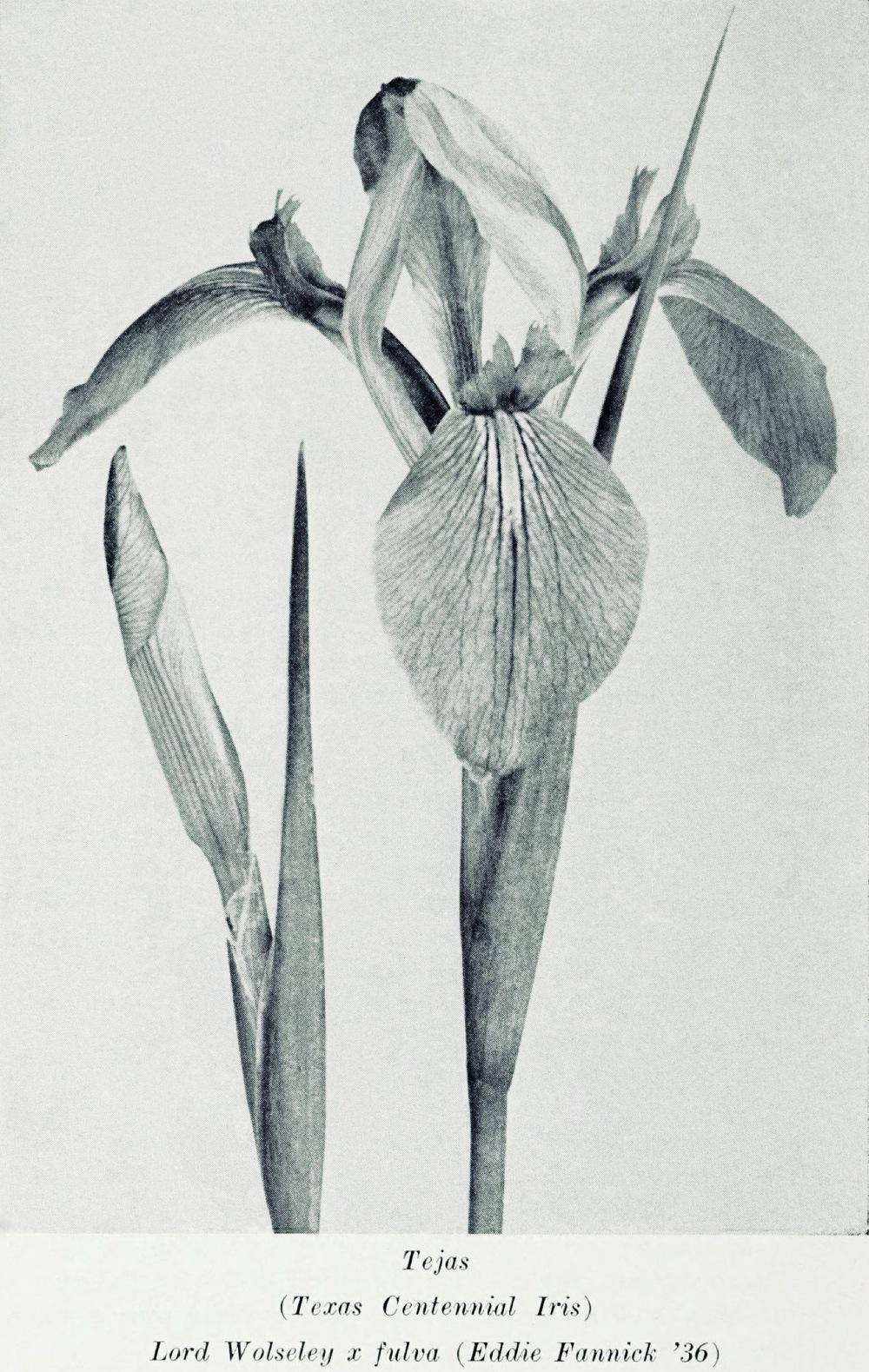 Photo of Irises (Iris) uploaded by scvirginia