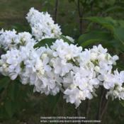 Location: Southern MaineDate: 2018-05-29One of my favorite white lilacs!