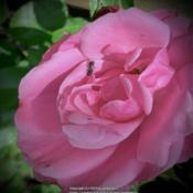 Location: My gardenDate: 2020-06-19Full rose bloom