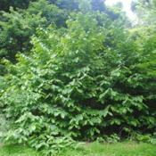 Location: Susquehannock State Park in southeast PADate: 2020-06-20larger shrub-tree
