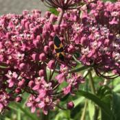 Location: Brownstown PA 17508Date: 2020-06-22Healthy bog garden plant w/Large Milkweed Bug